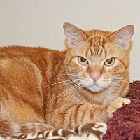 Domestic Shorthair Cat for adoption in Lincoln, Nebraska - Clark