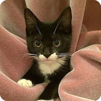 Domestic Shorthair Kitten for adoption in Columbia, Illinois - Archie