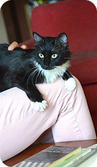 Domestic Mediumhair Cat for adoption in Los Angeles, California - Lauren