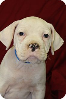 Boxer Mix Puppy for adoption in Waldorf, Maryland - Gerry