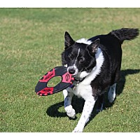 Adopt A Pet :: Lacie - Tempe, AZ
