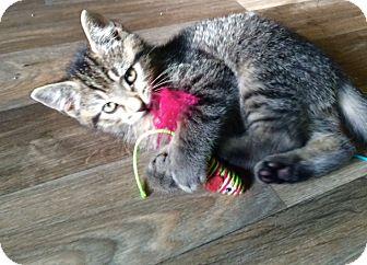 Domestic Shorthair Kitten for adoption in Irwin, Pennsylvania - Jack