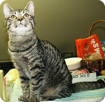 Domestic Mediumhair Cat for adoption in Fayetteville, Georgia - Juliette