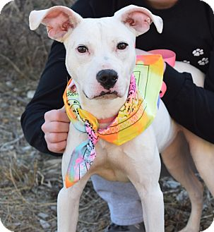 Jack Russell Terrier/Pit Bull Terrier Mix Puppy for adoption in Washington, Pennsylvania - Roxy