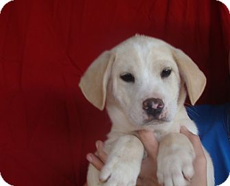 Labrador Retriever/Golden Retriever Mix Puppy for adoption in Oviedo, Florida - Rusty