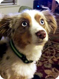 Australian Shepherd Mix Puppy for adoption in Tijeras, New Mexico - Scout