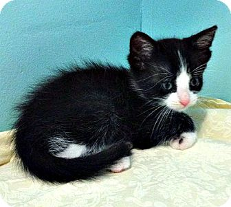 Domestic Mediumhair Kitten for adoption in Wartburg, Tennessee - Tugs