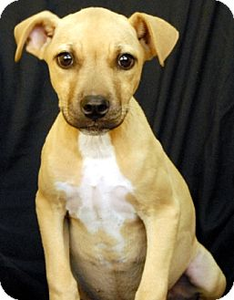 Boxer Mix Dog for adoption in Newland, North Carolina - Duchess