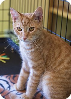 Domestic Shorthair Kitten for adoption in Charlotte, North Carolina - A..  Optimus