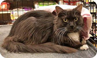 Domestic Longhair Cat for adoption in Sacramento, California - Gertrude