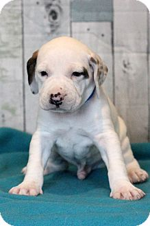 Pit Bull Terrier Mix Puppy for adoption in Waldorf, Maryland - Fennel