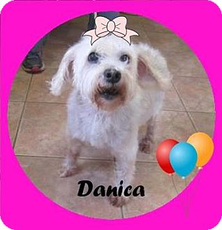 Havanese Mix Dog for adoption in Greensboro, Georgia - Danica