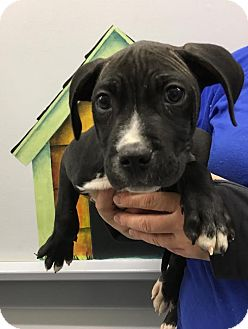Labrador Retriever/Pit Bull Terrier Mix Puppy for adoption in Lafayette, New Jersey - Bender
