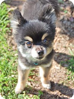 Pomeranian Dog for adoption in Charlotte, North Carolina - Boomer