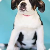 Adopt A Pet :: Clementine - Waldorf, MD