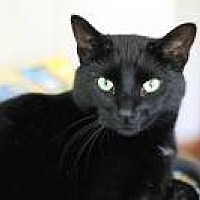 Domestic Shorthair Cat for adoption in Manchester, Connecticut - Ruby
