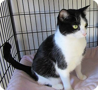 Domestic Shorthair Cat for adoption in Glenwood, Minnesota - Barlowe