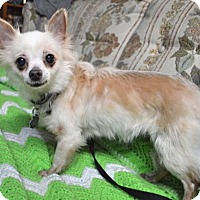 Chihuahua Dog for adoption in Livonia, Michigan - Senorita