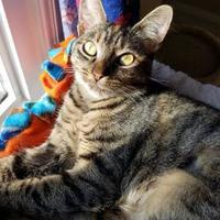 Domestic Shorthair/Domestic Shorthair Mix Cat for adoption in Allentown, Pennsylvania - Kookie