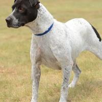 German Shorthaired Pointer Mix Dog for adoption in Gainesville, Texas - Rose