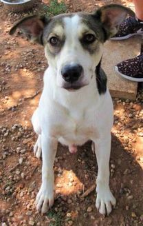 Labrador Retriever Mix Dog for adoption in Wichita Falls, Texas - Squirrel