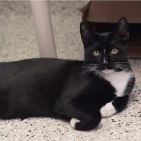 Adopt A Pet :: Tux - Baton Rouge, LA