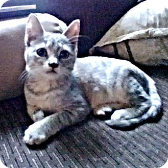 Domestic Shorthair Kitten for adoption in Princeton, New Jersey - Monkey