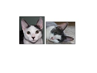 Domestic Shorthair Kitten for adoption in Fairfax, Virginia - Alex and CeCe (Kittens)