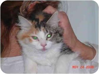 Domestic Longhair Kitten for adoption in Pendleton, Oregon - Gypsy