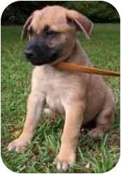 German Shepherd Dog/Labrador Retriever Mix Puppy for adoption in Daisy, Georgia - Conner