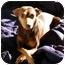 Photo 3 - Miniature Pinscher Dog for adoption in Nashville, Tennessee - Sasha