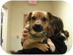 Corgi Mix Dog for adoption in Georgetown, Kentucky - Kyle