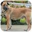 Photo 4 - German Shepherd Dog/Labrador Retriever Mix Dog for adoption in Los Angeles, California - Teresa von Thuringen