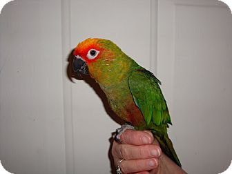Conure for adoption in St. Louis, Missouri - Kazi