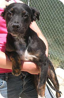 Border Collie/Australian Shepherd Mix Puppy for adoption in Corona, California - EDDIE