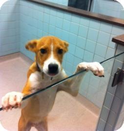 Beagle Mix Puppy for adoption in Columbus, Georgia - Robin Hood 6B30