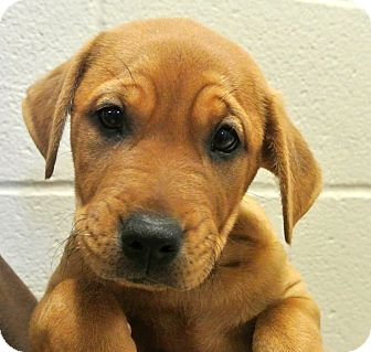 Labrador Retriever/Shepherd (Unknown Type) Mix Puppy for adoption in white settlment, Texas - Rolls