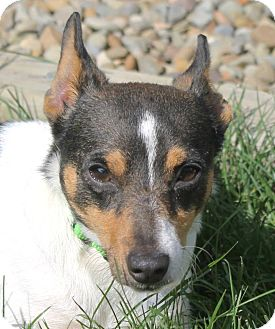 Fox Terrier (Toy)/Rat Terrier Mix Dog for adoption in North Olmsted, Ohio - Rhett