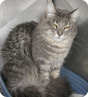 Domestic Longhair Cat for adoption in Pilot Point, Texas - BELLA