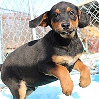 Adopt A Pet :: Cornbread - Brattleboro, VT