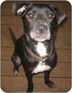 Labrador Retriever Mix Dog for adoption in Atlanta, Georgia - Minnie