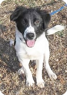 Border Collie/Australian Shepherd Mix Puppy for adoption in Snohomish, Washington - Olive-ready for agility & love