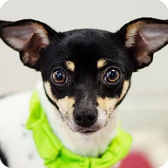 Chihuahua/Fox Terrier (Toy) Mix Dog for adoption in Adrian, Michigan - Molly