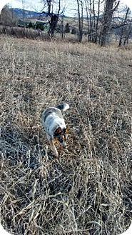 Australian Cattle Dog/Australian Shepherd Mix Dog for adoption in Cardwell, Montana - Luna