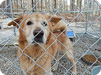 Shepherd (Unknown Type) Mix Dog for adoption in Henderson, North Carolina - Chad