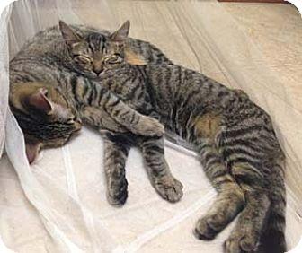 Domestic Shorthair Kitten for adoption in Merrifield, Virginia - Tommy