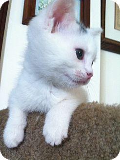 Domestic Shorthair Kitten for adoption in Trevose, Pennsylvania - Muppet