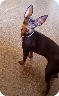 Miniature Pinscher Mix Dog for adoption in Kansas city, Missouri - Bindhi