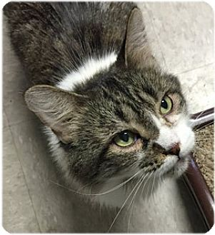 Domestic Mediumhair Cat for adoption in Milford, Massachusetts - Patches