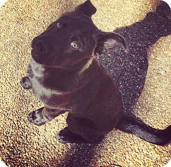 Labrador Retriever/Chow Chow Mix Puppy for adoption in Eden Prairie, Minnesota - Max